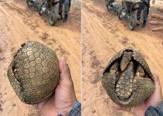 Polícia Militar resgata tatu-bola e apreende armadilhas em Valença do Piauí