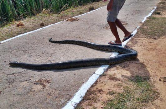 Cobra sucuri de cinco metros é encontrada em via pública no litoral do Piauí